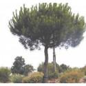 Pin parasol - PINUS pinea