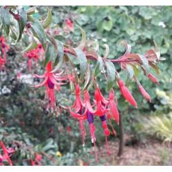fuschia - fuchia - petit fruit - arbre - jardin - pepiniere - jardinerie