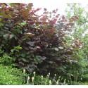Noisetier pourpre de Lombardie - CORYLUS avellana Maxima purpurea