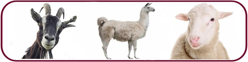 Chèvre - Caprin - Alpaga